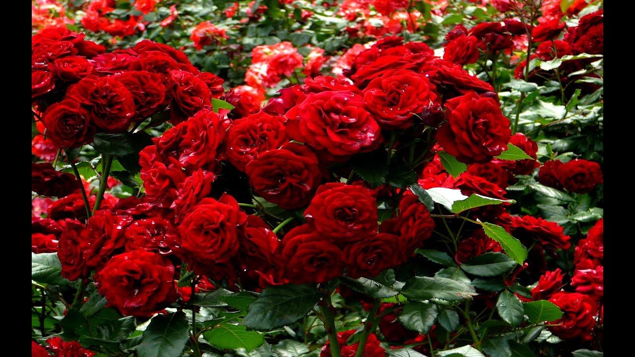صورة انواع الزهور بالصور , اهم النباتات والورود وانواعها