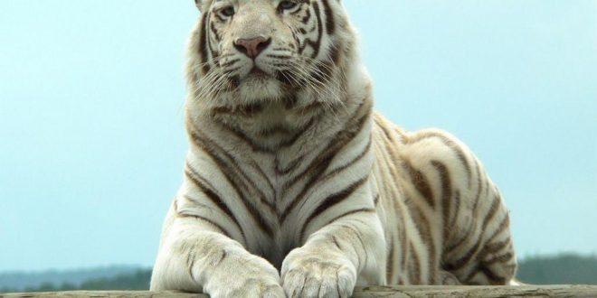 صورة صور نمور بيضاء , انواع النمور الملونه باللون الابيض.