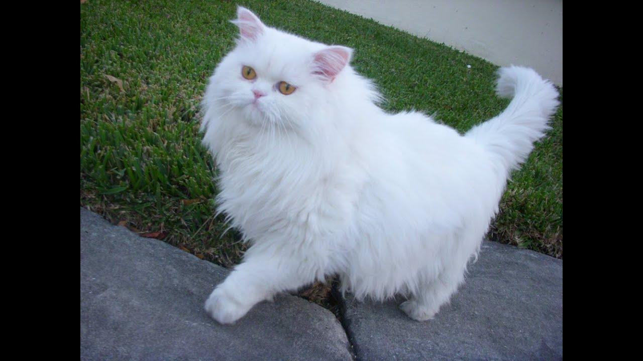 صورة انواع القطط الشيرازى بالصور , اشهر انواع قطط الشيرازى