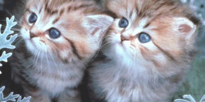 صورة صور اجمل قطط , اجمل قطة سيامى في العالم