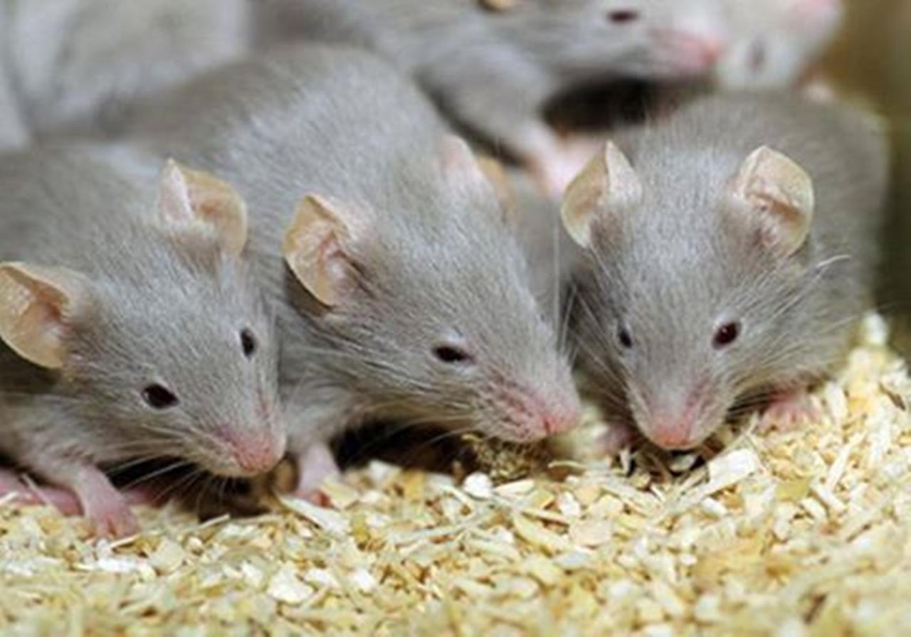 صورة تفسير الحلم بالفئران , ماذا يعنى رؤية الفار فى الحلم