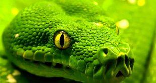 حلم الافعى الخضراء , راي مفسرون الاحلام في تفسير حلم الافعى الخضراء