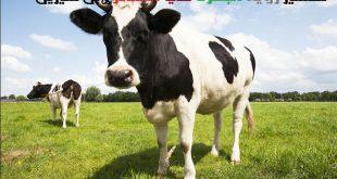 تفسير الاحلام البقرة تجري ورائي , راي المفسرون في مطاردة البقرة للرائي