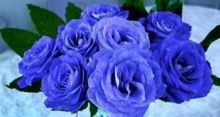 صورة بوكيه ورد ازرق , الزهرة المقدسة