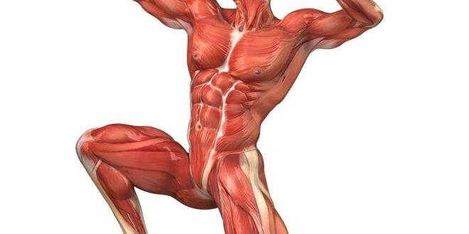 صورة ما هي اكبر عضلة في جسم الانسان , معلومات عن الجهاز العضلي و اكبر عضلة به
