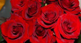 صورة ورد قرنفل احمر , ورد القرنفل رمز الحب والسعادة