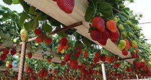 صورة زراعة الفراولة في البيوت المحمية , تعلم زراعة الفراولة في الصوب