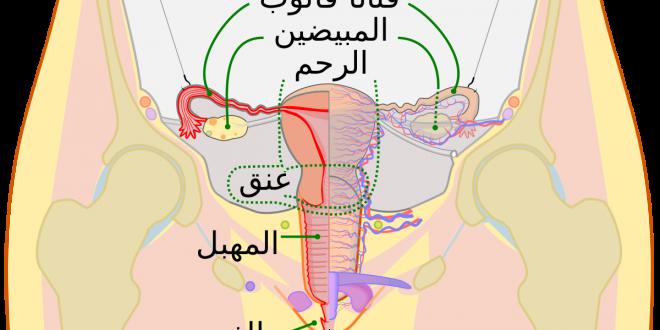 صورة جسم المراة منمخ الداخل , ما لاتعرفه المراة عن جسمها بالتفصيل