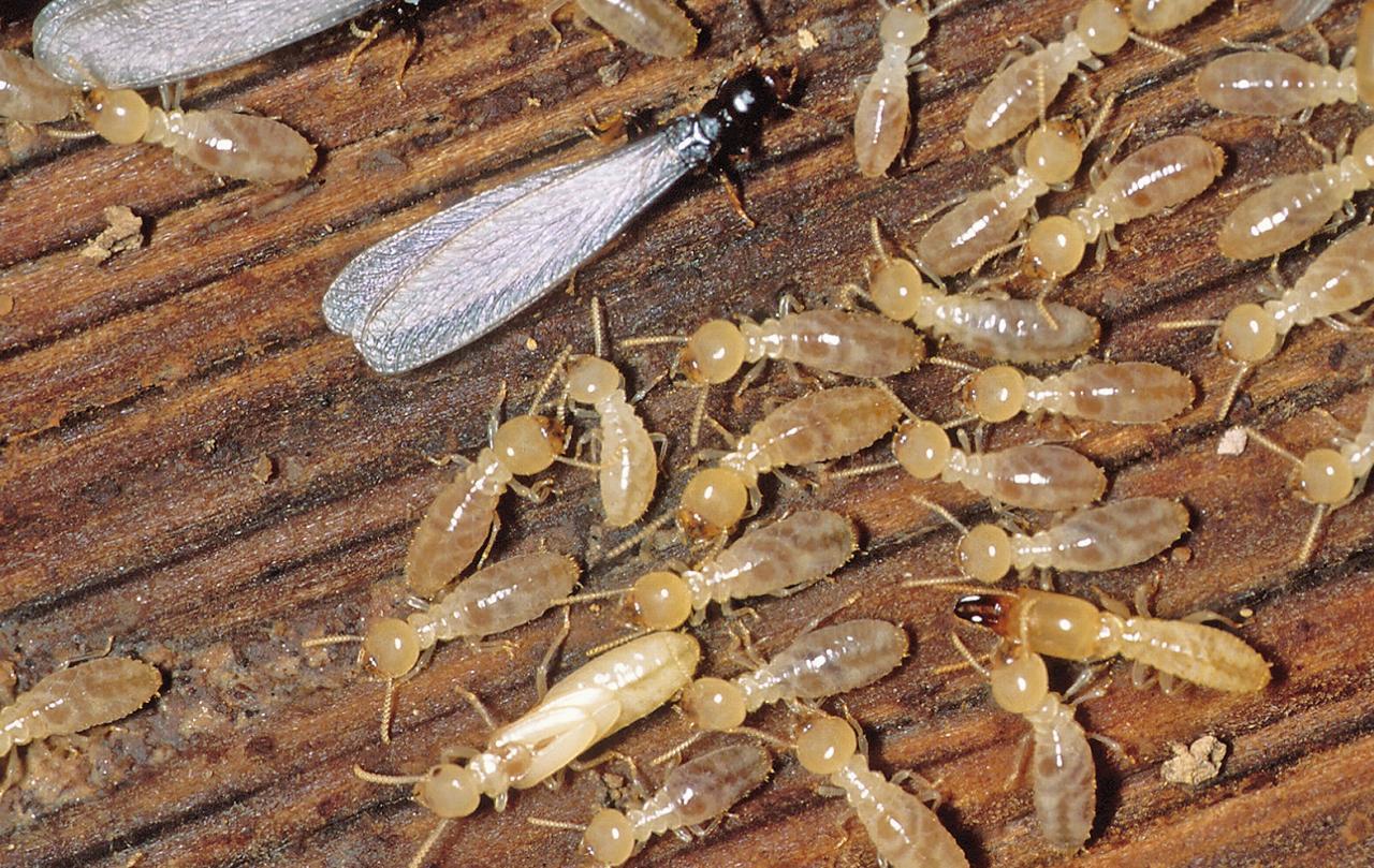 صورة التخلص من النمل الابيض , اضرار النمل الابيض والحلول السحرية لازالته تماما